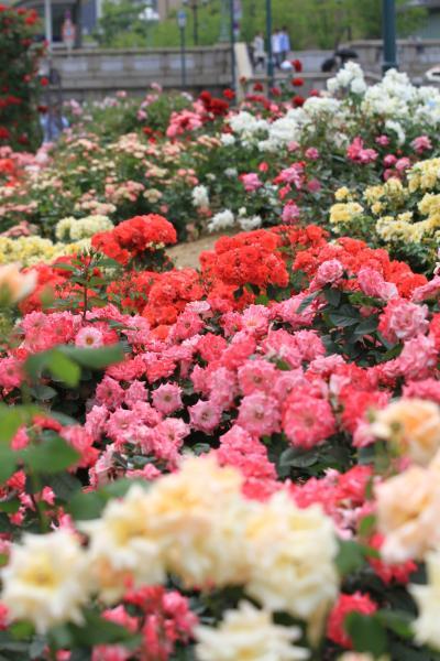 薔薇咲いて 公園の朝 始まりし 「中之島バラ園」