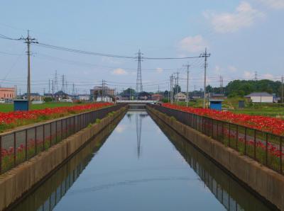 2012 久喜市 鷲宮こすもすロード ポピーの花盛り 上