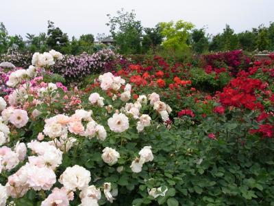 花菜ガーデンのローズフェスティバル