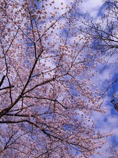 スカイツリーと桜(1)リッツカールトンひのき坂