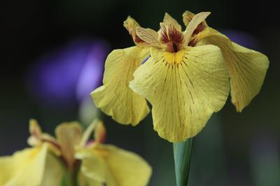むらさきのあやめの花は莟とけて 大き花びらをあらはしにけり 「大阪市公館・一般公開」