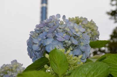 八景島の紫陽花を見に