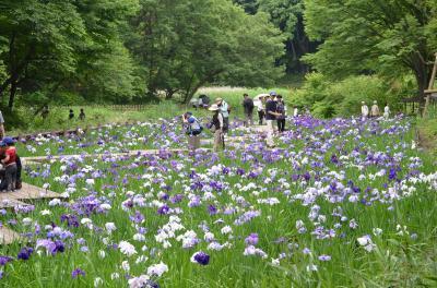 花菖蒲を訪ねて 県立四季の森公園に カルガモ、カワセミの親子も