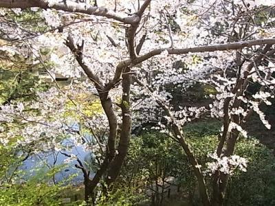 御殿山ヒルズの桜