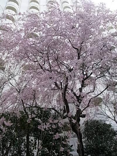 プリンスホテル高輪の桜