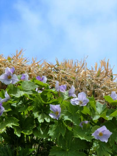 224-2012年6月 伊達紋別岳のシラネアオイ