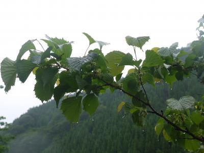 梅雨のお散歩 山の花木を楽しむ~♪