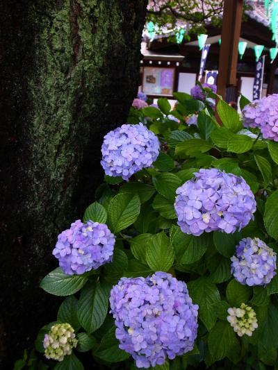 梅雨の晴れ間に白山神社あじさい祭りへ