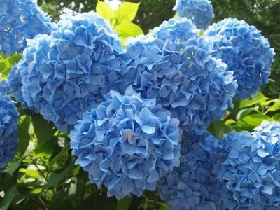 紫陽花を見に関西花の寺第十二番久安寺へ
