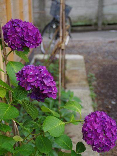 古民家カフェで感じる武蔵野の風、初夏に薫るあじさい散歩