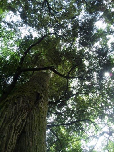 伊勢神社  この巨木パワー沢山の人に届きますように。。。
