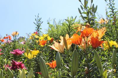 2012年 6月  50種45万本のゆりが3万?の狭山丘陵の自然林に百花繚乱、最高の森林浴を早朝に満喫.