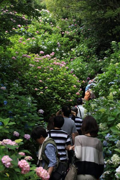 矢田寺のアジサイ 2012