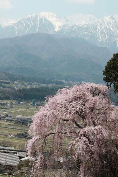 '12南信州の桜を探して(吉瀬・舞台桜・石塚桜)