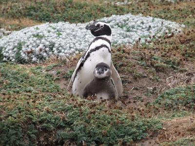 パタゴニア旅行記3: ペンギン営巣地(プンタアレーナス、チリ)