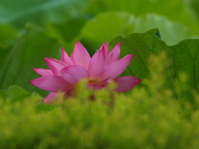 2012 上野不忍池 蓮花 盛りはまだのよう