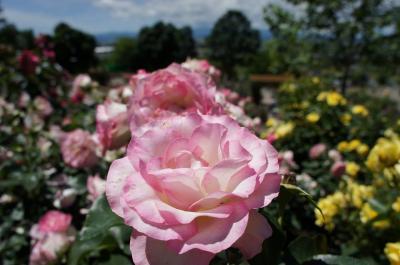 北海道ガーデンを楽しむバスツアー 前編 深川さくらんぼ狩り&秩父別ローズガーデン
