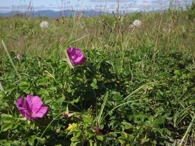 2012-7-14 石狩浜:はまなすの丘公園で海と花を楽しむ 札幌大オフ会前のプチオフ会(^◇^)