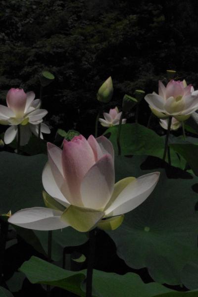 猛暑の中 蓮に魅せられて 京都府立植物園2012