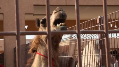 UAE らくだ取引の市場(キャメル・マーケット)アルアイン 2011冬