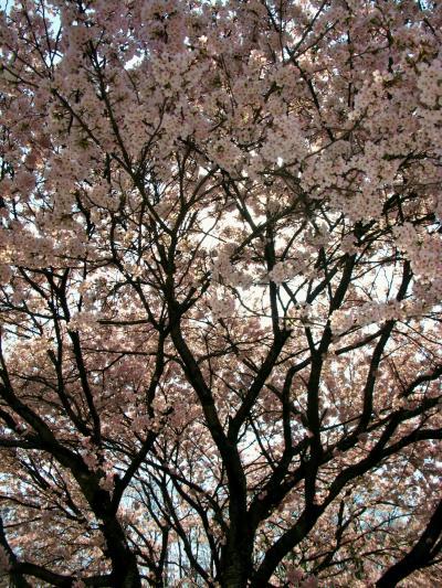 馬見塚公園=開墾の史跡・ため池=桜は咲き始め ☆ツツジは真っ盛り