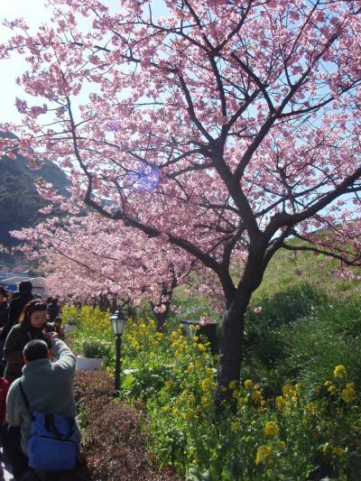 《2009年2月》河津桜 in 伊豆