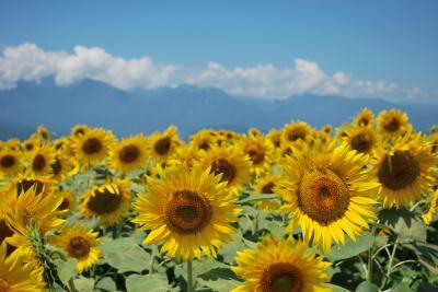暑いので高原に避難 第一部≪明野サンフラワーフェス≫
