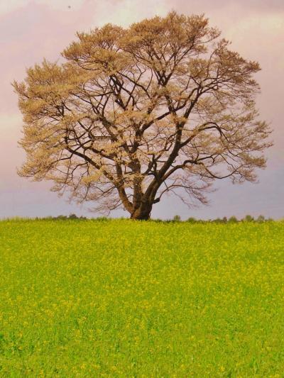 岩手/春-7 小岩井農場、一本桜 けだかく満開 ☆どんと晴れの舞台に