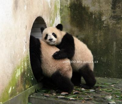 中国四川省とタイチェンマイのパンダちゃんを訪ねて(全体) 2012.8.10~8.20