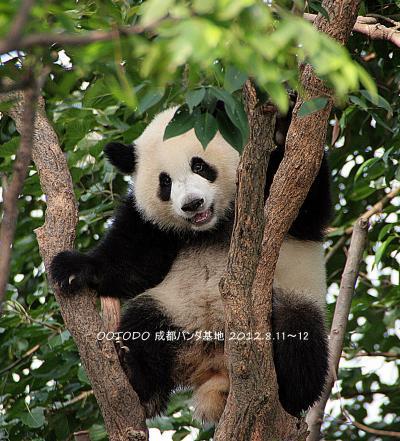 中国四川省「成都大熊猫繁育研究基地」のパンダちゃん 2012.8.11-12、15