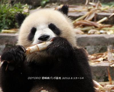 中国四川省「雅安碧峰峡基地」のパンダちゃん 2012.8.13-14