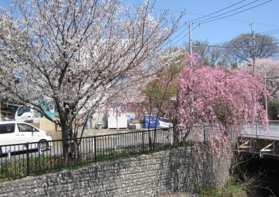 平瀬川の桜たち① 2012年4月12日