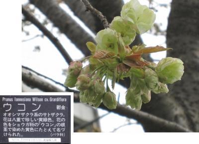 平瀬川の桜たち② 2012年4月16日
