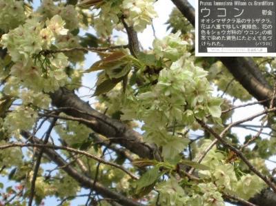 平瀬川の桜たち③ 2012年4月24日