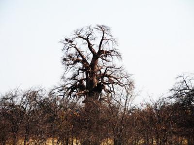 2012ボツワナ~MaunからGwetaの村@Gweta Logdge