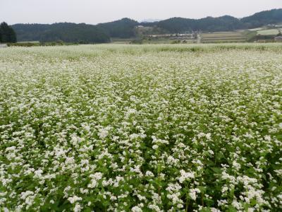 一面真っ白な「そば」のお花畑(奈良県桜井市笠地区)
