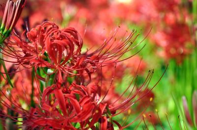 幸手市 権現堂 曼珠沙華/red spider lilies