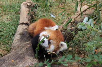 長野新幹線に乗って茶臼山動物園までレッサーパンダの赤ちゃん詣(2)もこもこキュートな赤ちゃんたちと屋外レッサーパンダたち