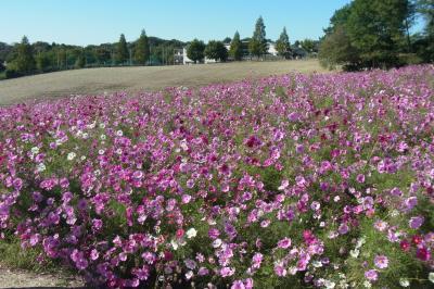 天気がよいので愛知牧場へ~コスモス畑と動物に触れ合うの巻~