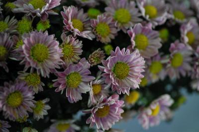 2012 第30回越谷市菊花大会