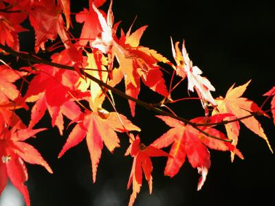 旧跡の街、鳥取・若桜町から兵庫・養父にかかる氷ノ山の紅葉を観る!