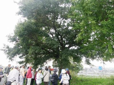 久喜市栗橋地区の巨樹・巨木観察会に参加して