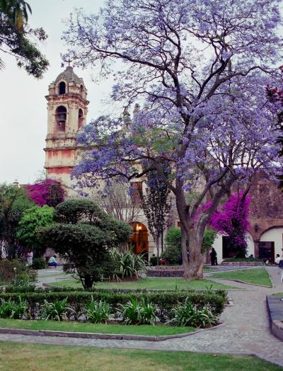 ハカランダの花見(メキシコ)