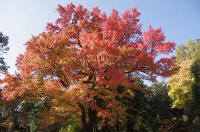 2012京都紅葉だより カモさんたちも紅葉狩り~ 彩りを増す京都府立植物園へ