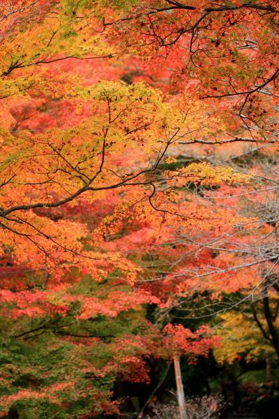 牛滝山の大威徳寺紅葉