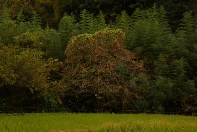 笠置(かさぎ)山、紅葉ハイク(その2:♪おおきな柿の木の下で編)~奈良コミュ・第6回オフ会~