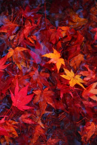京都 紅葉めぐり~しょうざん、今宮神社の紅葉