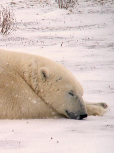ホッキョクグマに会いたくて、チャーチルへ 2012−1