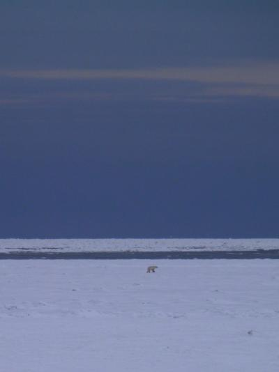 ホッキョクグマに会いたくて、チャーチルへ 2012−2
