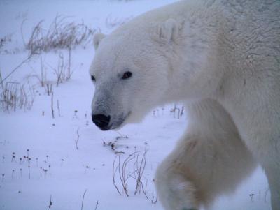 ホッキョクグマに会いたくて、チャーチルへ 2012−3